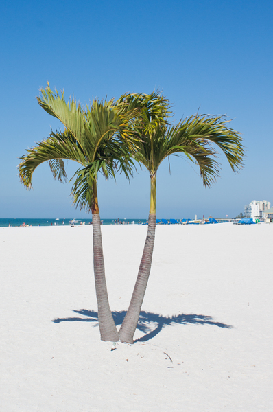 Beach Palms: Palm trees on St Pete beach, Florida.