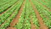 Green rows: rows of lettuces growing for market