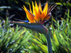 Bird of Paradise: flower