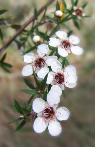 Manuka flowers: tiny blossoms of the New Zealand manuka plant.  I love manuka honey and the plant is renowned for therapeutic properties.
