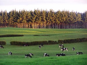 farmland scene NZ: cows in the field at sunset in New Zealand