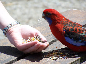 Feeding the bird 2: bird feeding in Australia.  Australian colourful bird, maybe a rosella?