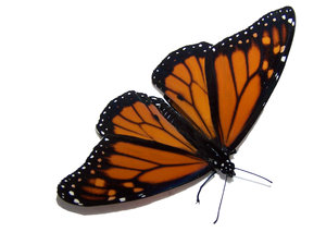 Monarch butterfly: The adult butterfly stage of this insect, the Monarch butterfly