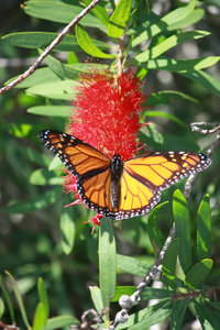 Flitting monarch: A monarch butterfly flutters on the flower