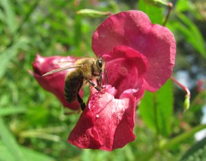 Bee on flower 2: bee on bright red flower, close-up
