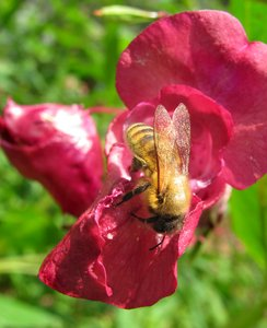 Bee on flower 4: bee on bright red flower, close-up