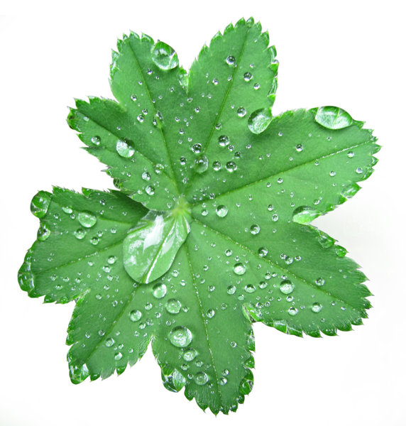 grean leaf with dew: isolated lady's mantle leaf with pearl-like dew drops. clipping path included.