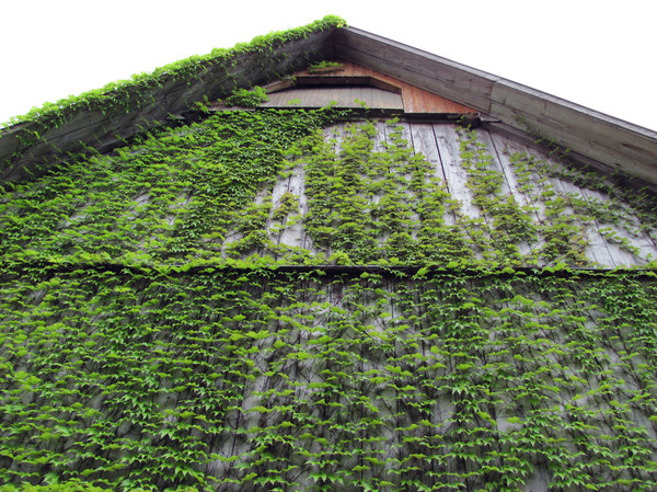 Facade overgrown with virginia: looking up to a green covered gable. white backdrop