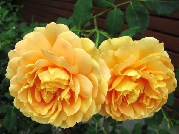 apricot-colored roses: two lush rose blooms