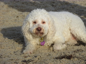 White dog on a beach: A white dog sitting on a beach