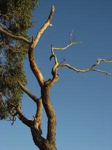 Dead tree: A dead tree standing against a fertile tree with blue sky in the background