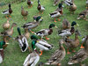 Dozens of ducks: Male and female mallards (Anas platyrhynchos) hoping to be fed some bread.