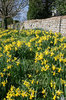 Daffodils: Daffodils on a grassy bank outside a church in West Sussex, England, in spring.