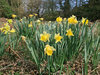 Wild daffodils: Wild native daffodils (Narcissus) in West Sussex, England, in spring.