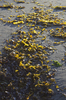 Seaweed: Giant kelp seaweed on a beach lit by the setting sun.