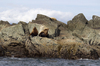Sealions: Steller sealions (Eumetopias jubatus) and pup on islands off the west coast of Vancouver Island, Canada.