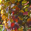 Vine leaves in autumn: Vine (Vitis) leaves in autumn in an arboretum in England.