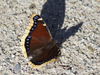 Butterfly: A Mourning Cloak (also called Camberwell Beauty) butterfly (Aglais antiopa) sunbasking on a stony track.