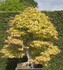 Bonsai tree: A bonsai Acer palmatum tree in a garden in England.