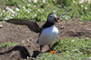Puffin: A puffin (Fratercula arctica) about to fly from outside its burrow on Skomer Island, Pembrokeshire, Wales.
