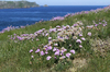 Thrift flowers: Thrift (Armeria maritima) growing wild on the coast of Pembrokeshire, Wales.