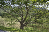 Young oak tree: A young oak (Quercus) tree in Ceredigion, Wales.