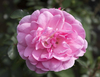 Pink rose: A pink pompom rose in a garden in England.