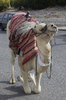 Camel: A camel for tourists in Jerusalem, Israel.