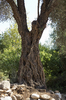 Old tree: An ancient olive tree growing amongst boulders at Tel Dan, Israel.