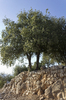 Trees on a wall: Oak (Quercus) trees growing on an ancient wall in the northern Golan Heights, Israel.
