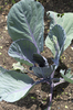 Young cabbage plants: Young cabbage plants in a garden in Wiltshire, England.