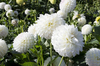 White dahlias: White dahlias in a garden in England.