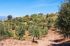 Olive orchard: An olive orchard in southern Greece.