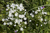 Wild spring flowers: Wild Allium flowers in southern Greece in spring.