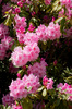 Rhododendron flowers: Rhododendron flowers in a woodland garden in southern England in spring.