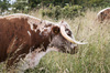 English longhorn cow: An English longhorn cow in East Sussex, England.