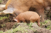 Pigs: A Tamworth sow and piglet in a farm park in England.