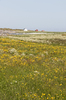 Wild flower meadows: Coastal wild flower meadows in the Lofoten Islands, Norway.