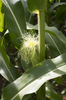 Corn cob: A developing cob in a field of corn (maize) in Devon, England.