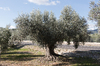 Old olive tree: An old olive tree by a road in Majorca, Balearic Islands, Spain.
