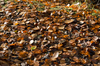 Autumn leaves: Fallen leaves of beech (Fagus sylvatica) in woodland in autumn in England.
