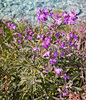 Wild stock flowers: Wild stock (Matthiola) flowers on a coastal cliff in southern Greece.