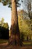Redwood tree: A redwood (Sequoia sempervirens) tree in autumn in a garden in England.