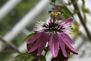 Greenhouse passion flower: A greenhouse cultivar of passion flower (Passiflora).