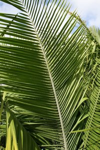 Palm fronds: Fronds of a large palm tree growing in a garden in Madeira.
