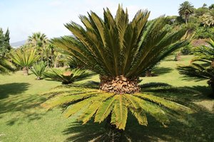 Cycad trees: Cycad trees growing in a botanic garden in Madeira.