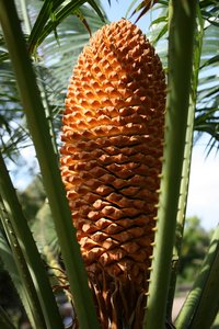 Cycad cone: Cone of a cycad tree growing in a botanic garden in Madeira.