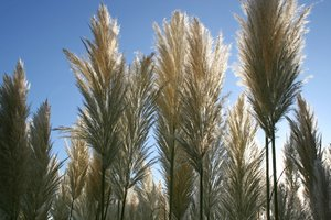 Pampas Grass: Cortaderia selloana, commonly known as Pampas Grass, growing in a garden in England.