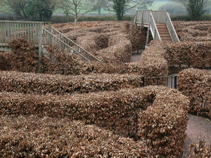 Beech maze: A maze of beech (Fagus) hedges and footbridges in Devon, England.