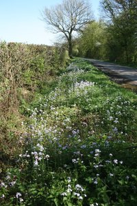 Lady's smock flowers: Lady's smock (Cardamine, also called cuckoo flower) growing by a country lane in Sussex, England, in spring.